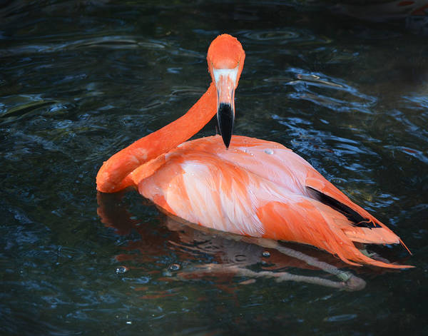 Photograph - Flamingo Focus by Maggy Marsh