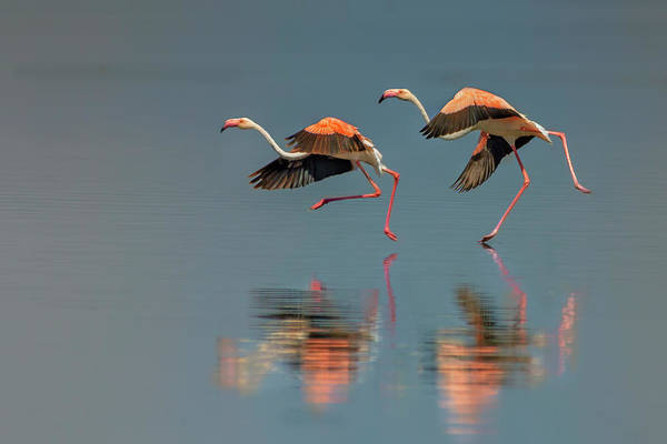 Off Photograph - Flamingo Landing by Yun Wang