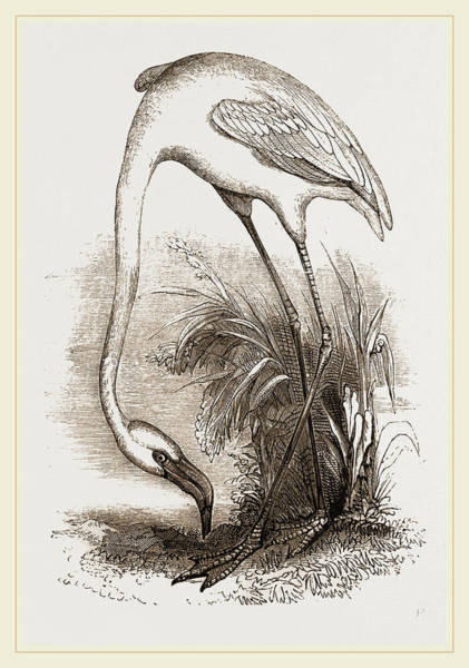 Flamingo Drawing - Flamingo by Litz Collection