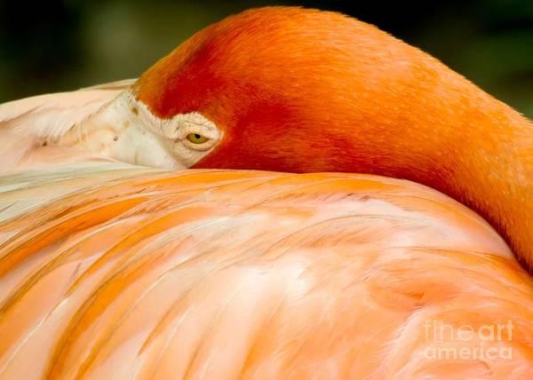 Photograph - Flamingo Napping by Sabrina L Ryan