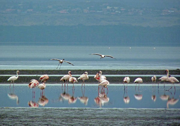 Photograph - Flamingo On Lake Nakuru by Tony Murtagh