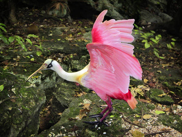 Photograph - Roseate Spoonbil by Marilyn Hunt