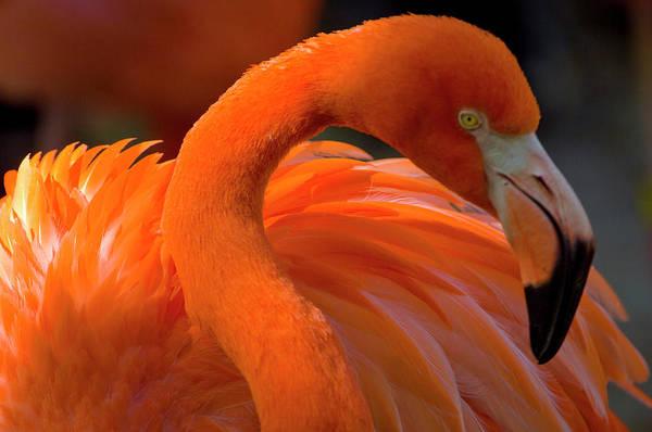 Wall Art - Photograph - Flamingo   Phoenicopterus, Africa by Ernesto Burciaga
