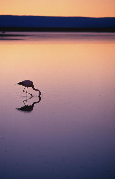 Silhouette Photograph - Flamingo Silhouetted At Sunset In by Michael Taylor