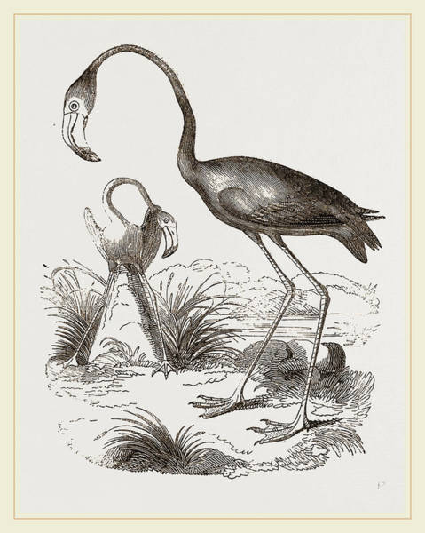 Flamingo Drawing - Flamingoes And Nest by Litz Collection