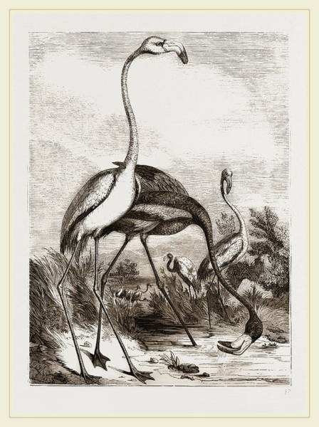 Flamingo Drawing - Flamingoes by Litz Collection