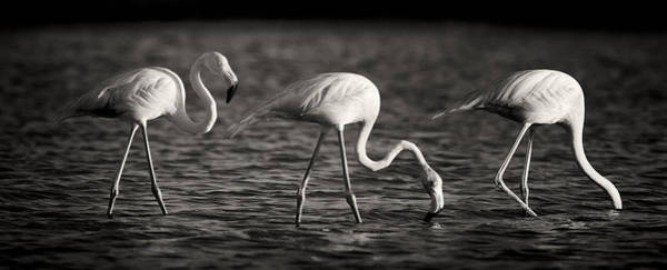 Photograph - Flamingos Black And White Panoramic by Adam Romanowicz