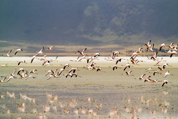 In Flight Photograph - Flamingos Flying Over Water by Jonathan Kingston