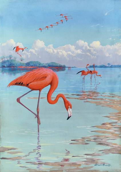 Andros Photograph - Flamingos Wade In Shallow Tropical by Allan Brooks