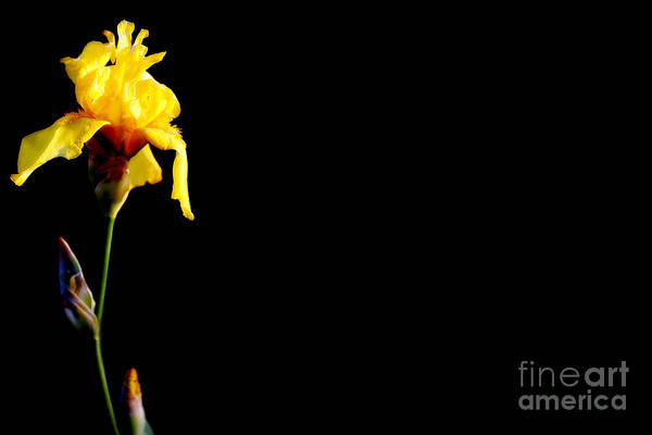 Photograph - Flash Of Yellow by Lincoln Rogers