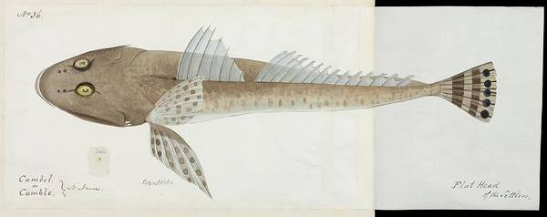 Wall Art - Photograph - Flathead Fish by Natural History Museum, London/science Photo Library