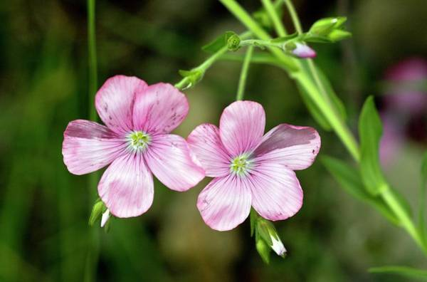 Pyrenees Photograph - Flax (linum Viscosum) Flowers by Bob Gibbons