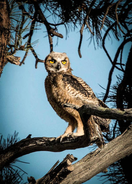 Wall Art - Photograph - Fledgling Owlet by Dawn Key