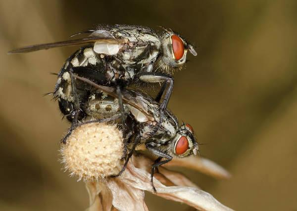 Entomology Photograph - Flesh-flies Mating by Nigel Downer