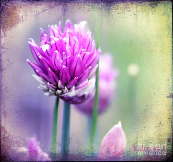 Photograph - Fleurs De Oboulette by Chris Armytage