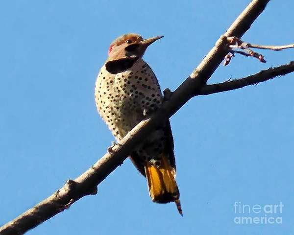 Southern Ontario Photograph - Flicker Of North America by Irfan Gillani