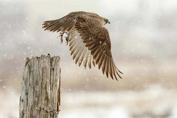 Falcons Photograph - Flight Against The Snowstorm by Osamu Asami