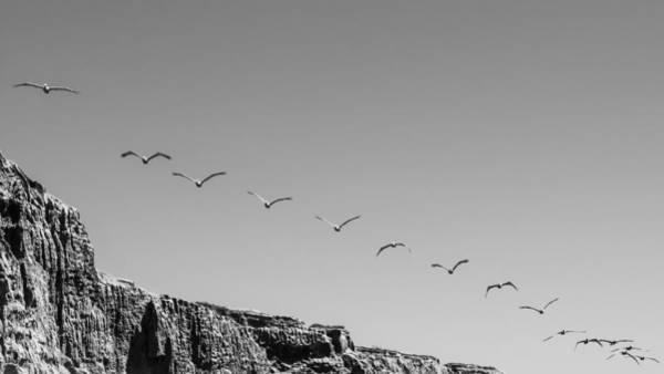 Pelicans Photograph - Flight Line by Joseph Smith