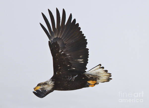 Soar Photograph - Foggy Flight by Mike  Dawson