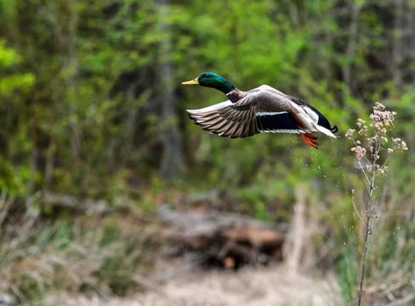 Greenhead Photograph - Flight by Noel Pennington