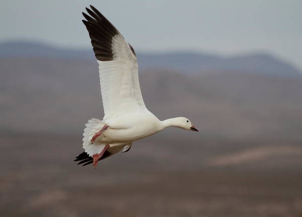 Wall Art - Photograph - Flight Of A Snow Goose by Ruth Jolly