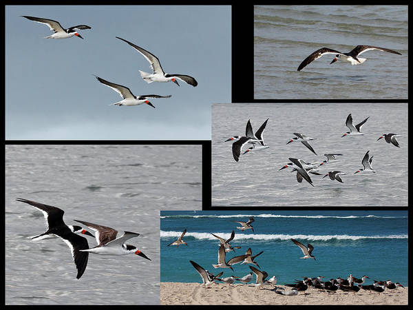 Photograph - Flight Of Black Skimmers by Dawn Currie