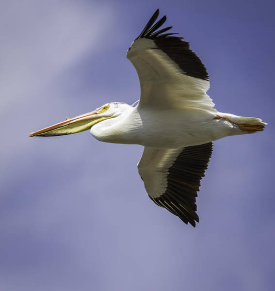 Photograph - Flight Of The American White Pelican by Thomas Young