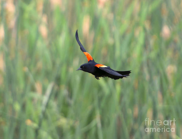 Red-winged Blackbird Wall Art - Photograph - Flight Of The Blackbird by Mike  Dawson