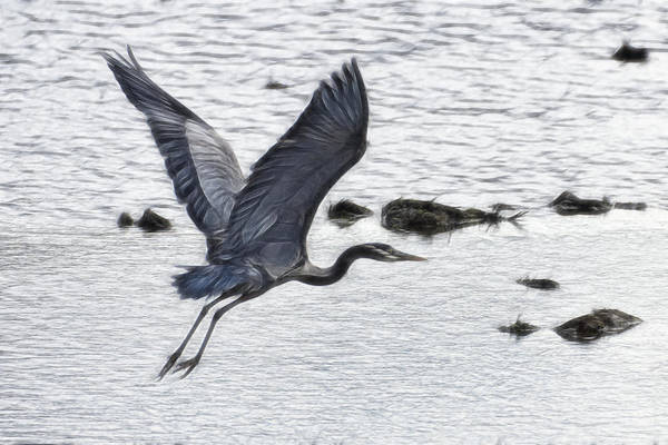 Photograph - Flight Of The Blue Heron by Wes and Dotty Weber