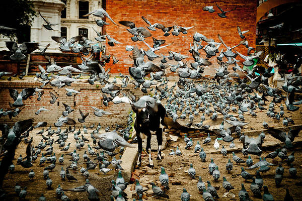Photograph - flight of the doves Near Pashupatinath Temple by Raimond Klavins