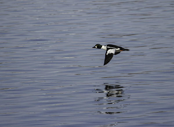 Wall Art - Photograph - Flight Of The Drake Goldeneye by Thomas Young