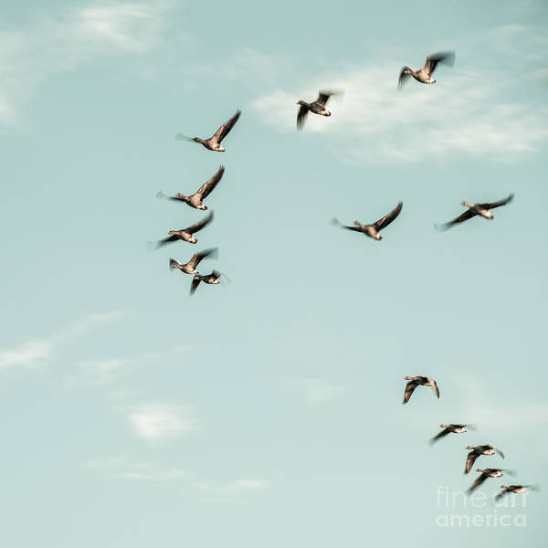 Photograph - Flight Of The Goose by Hannes Cmarits