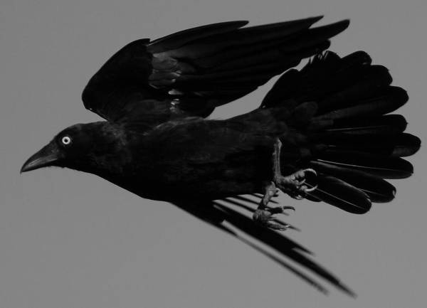 Wall Art - Photograph - Flight Of The Raven by Bruce J Robinson