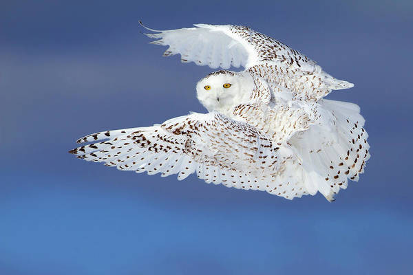 Fly Photograph - Flight Of The Snowy - Snowy Owl by Jim Cumming