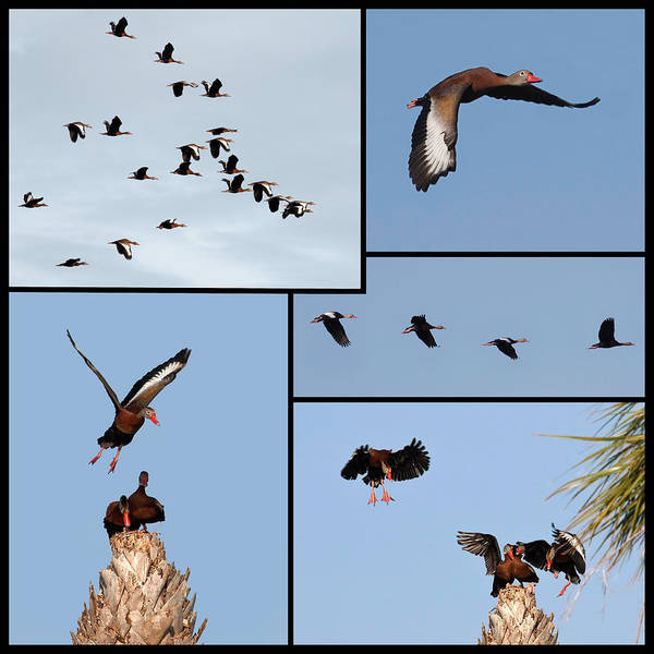 Photograph - Flight Of The Whistling Duck by Dawn Currie