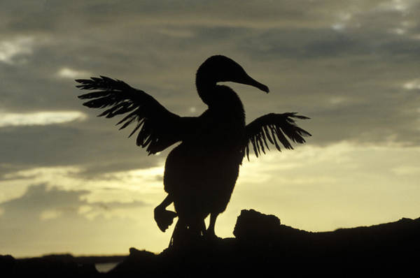 Phalacrocoracidae Photograph - Flightless Cormorant Drying Its Wings by Konrad Wothe