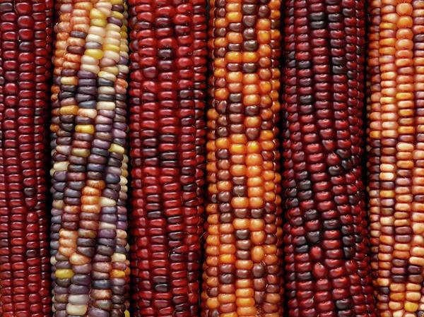Indian Corn Photograph - Flint Corn by Science Photo Library