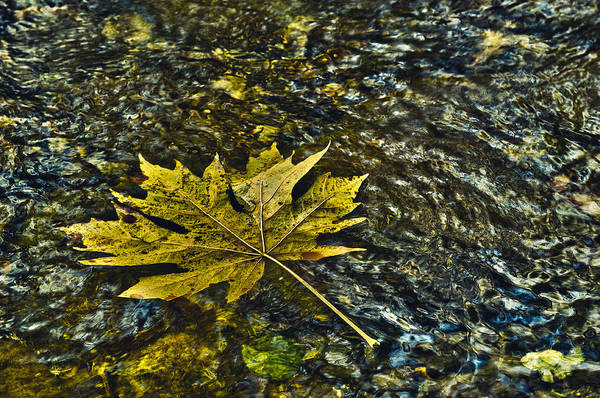 Photograph - Floating Maple Leaf by Paul W Sharpe Aka Wizard of Wonders