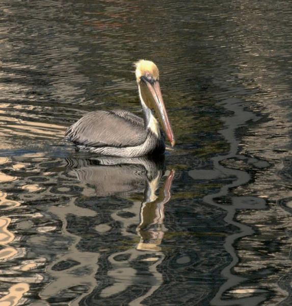 Photograph - Floating Pelican by Wesley Elsberry