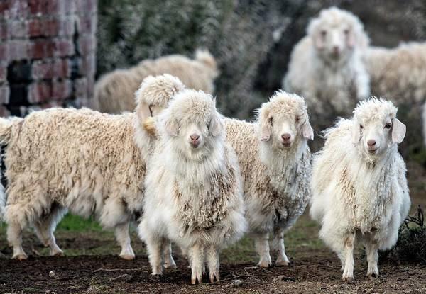 Wall Art - Photograph - Flock Of Angora Goats by Tony Camacho/science Photo Library