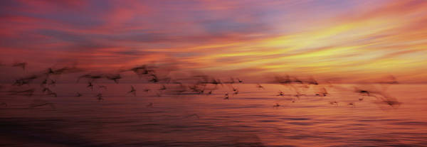 Wall Art - Photograph - Flock Of Birds Flying Over A Sea, Gulf by Animal Images