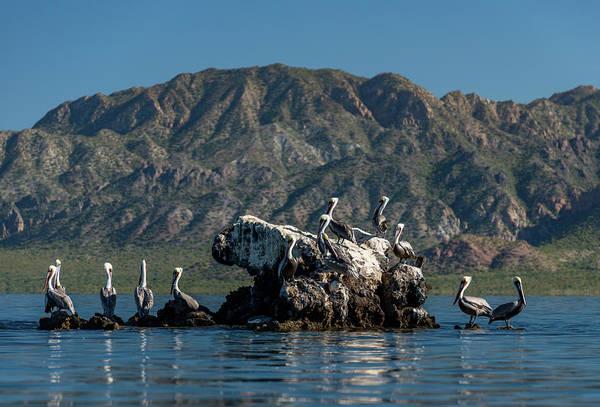 California Brown Pelican Photograph - Flock Of Brown Pelican Pelecanus by Animal Images