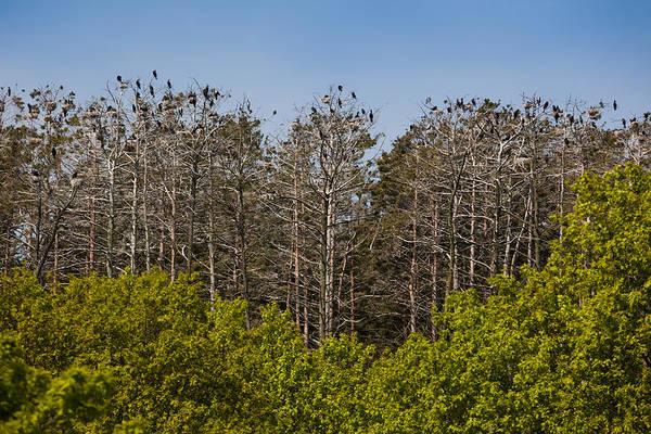 Flock Of Cormorant Birds Perching Art Print