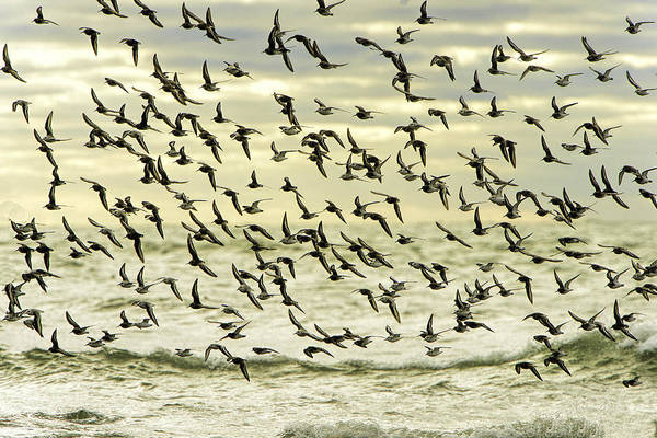 Calidris Alpina Wall Art - Photograph - Flock Of Dunlins And Sanderlings In Flight by Myer Bornstein