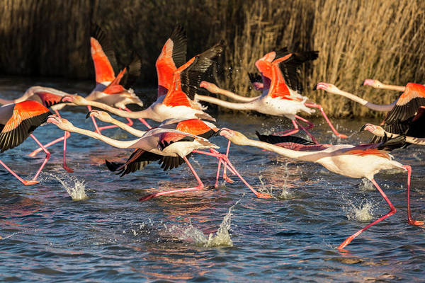 Phoenicopterus Roseus Wall Art - Photograph - Flock Of Flamingoes Taking Flight by Raffi Maghdessian