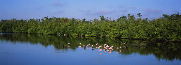 Ding Photograph - Flock Of Flamingos In A Lake, J.n. Ding by Animal Images