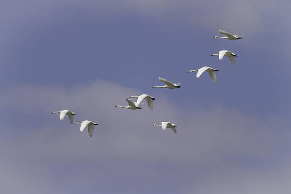 Wall Art - Photograph - Flock Of Flying Tundra Swans by Thomas Young