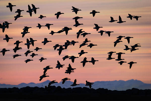 Wall Art - Photograph - Flock Of Geese Flying At Sunset by Panoramic Images
