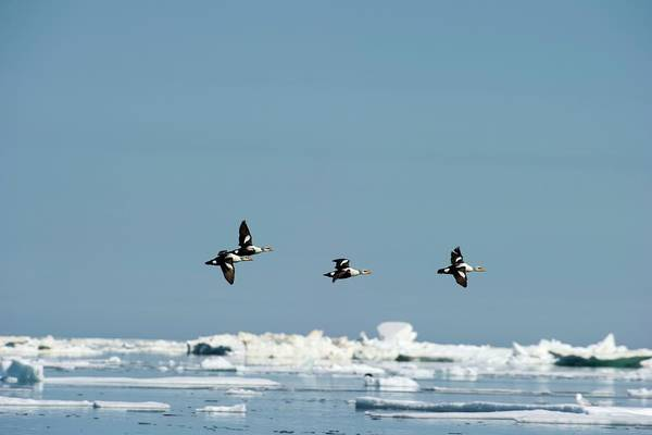 Canadian Fauna Photograph - Flock Of King Eider Ducks by Louise Murray/science Photo Library