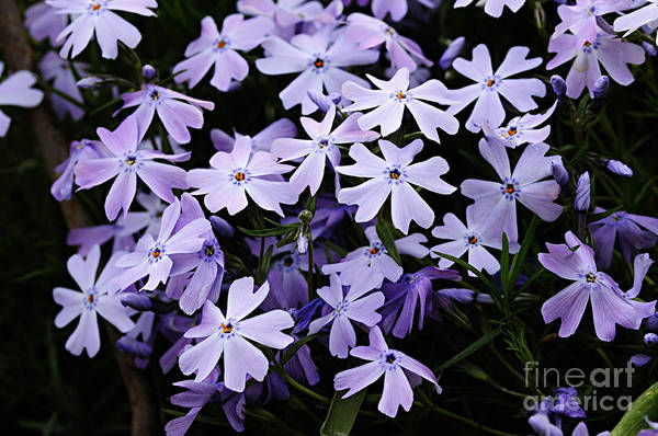 Photograph - Flock Of Phlox by Larry Ricker